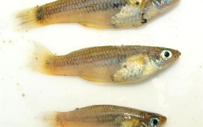 This is a potentially new species of fish found in the river in the White City area