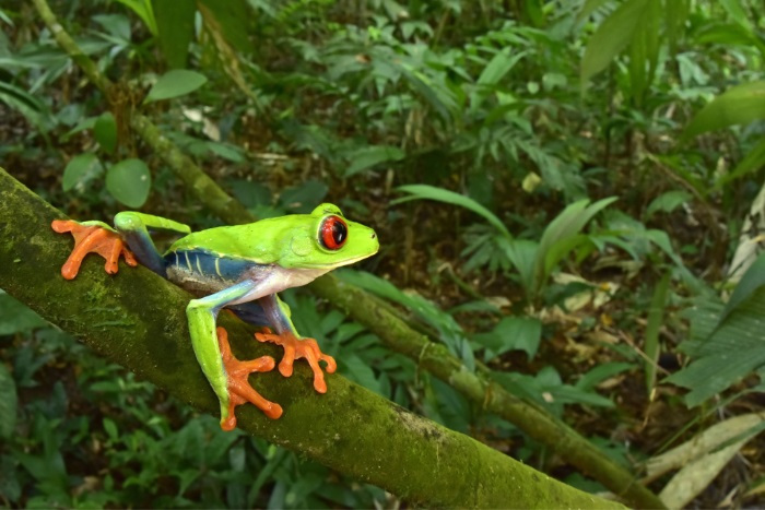 Red eyed tree frogs were also observed