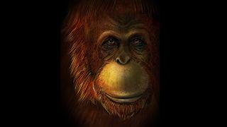 A reconstruction of the extinct great ape, Gigantopithecus.