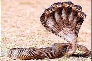 five-headed-snake