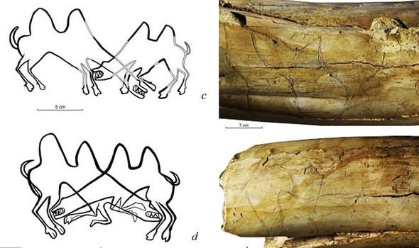 Archaeology news: Etchings of fighting camels found on 13,000-year-old mammoth tusks in Siberia are the earliest known drawings of the animal ever fou